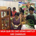 MUA QUẢ ÓC CHÓ DÒNG HARTLEY HAY CHANDLER